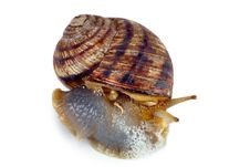 Free Crawling Snail Isolated On A White Background Stock Photo - 19658680