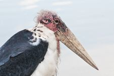 Free Head Of Marabou Stork Stock Photography - 19659382