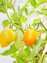 Free Eggplant Is On The Tree Stock Photography - 19661532
