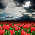 Free Tulip Field In A Cloudy Day Royalty Free Stock Photo - 19661875
