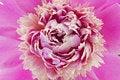 Free Peony Flower Royalty Free Stock Photo - 19667655