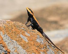 Free Handsome Agama Royalty Free Stock Photos - 19661738