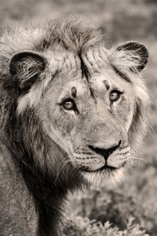 Free Lion Close-up Royalty Free Stock Photos - 19661788