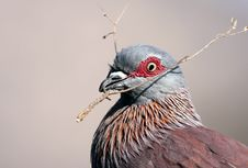 Free Speckled Pigeon Royalty Free Stock Photos - 19662178