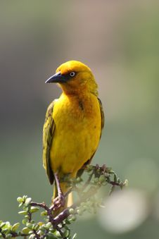 Free Spectacled Weaver Stock Photography - 19662692