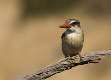 Free Brown Hooded Kingfisher Royalty Free Stock Images - 19663009