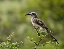 Free Grey Hornbill Stock Photo - 19663120