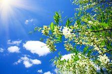 Free White Acacia And Fun Sun . Royalty Free Stock Photography - 19663277