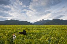 Two Dogs On Meadow Royalty Free Stock Images