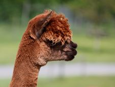 Free Portrait Of A Brown Alpaca In Profile. Royalty Free Stock Images - 19664999
