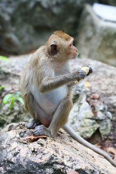 Wild Monkey Royalty Free Stock Images