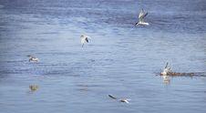 Sterna Fishing Stock Photo