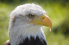 Free Bald Eagle Stock Image - 19666381
