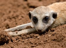 Free Mongoose Royalty Free Stock Photography - 19667457