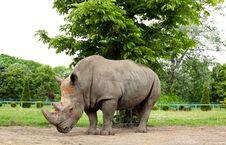 White Rhino Stock Image