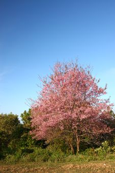Free Pink Flower  Tree Royalty Free Stock Photo - 19668465