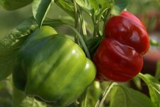 Free Green Peppers Turning Red Stock Photos - 19669823