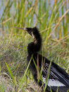 Free Anhinga Looking Out Stock Photos - 19671103