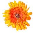 Free Flower Gerbera Royalty Free Stock Image - 19678076