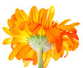 Free Flower Gerbera Royalty Free Stock Photography - 19678137
