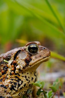 Free Bull Frog Royalty Free Stock Photo - 19670025