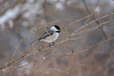 Free Chickadee Poecile Atricapilla Stock Images - 19670044