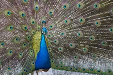 Free Peafowl With Feathers Open Royalty Free Stock Image - 19671136