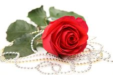 Free Fine Rose Royalty Free Stock Images - 19672009