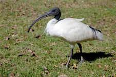 Free Australian White Ibis Royalty Free Stock Photos - 19672408
