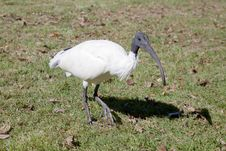 Free Closeup Of An Australian White Ibis Stock Photography - 19672442