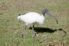 Free Closeup Of An Australian White Ibis Walking Royalty Free Stock Images - 19672469