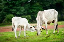 Free Two Cow Eating Grass Royalty Free Stock Image - 19672496