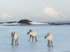 Free Three Arctic Musketeers, Wild Reindeers Royalty Free Stock Photo - 19673805