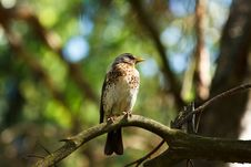 Free Fieldfare Royalty Free Stock Photography - 19673847