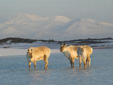Free Wild Arctic Reindeers Standing In The Water Stock Photo - 19673870
