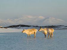 Free Wild Arctic Reindeers Standing In The Water Stock Photos - 19673893