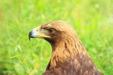 Free Hawk Head Royalty Free Stock Photography - 19675437