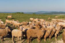 Free Flock Of Sheep Stock Photos - 19675683