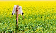 Free Scarecrow Stands Guard In Rape Field Royalty Free Stock Photos - 19676308