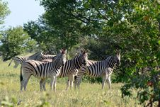 Free Three Curious Zebras Stock Photos - 19677303