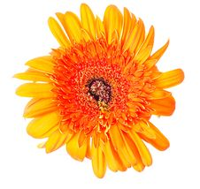 Free Flower Gerbera Royalty Free Stock Image - 19678076