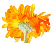 Free Flower Gerbera Royalty Free Stock Photography - 19678137