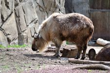 Free Sichuan Takin Foraging For Food Stock Images - 19678304