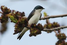 Free Tree Swallow Tachycineta Bicolor Perching Royalty Free Stock Photography - 19678427