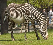 Free Zebra Royalty Free Stock Photos - 19678468