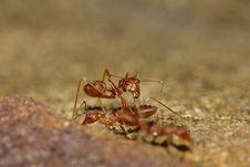 Free Red Ant Stock Photo - 19679070