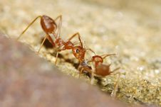 Free Red Ant Royalty Free Stock Photo - 19679085