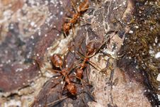 Free Red Ant Stock Image - 19679211
