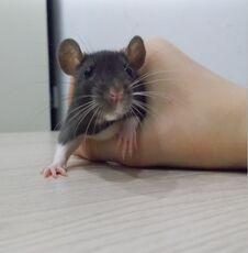 Free Small Rat At Hand Royalty Free Stock Image - 196770316