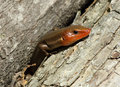 Free Sunbathing Five-lined Skink Royalty Free Stock Photo - 19681035